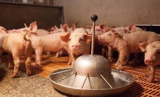 Cúm lợn Châu Phi đang lây lan ở Trung Quốc đẩy giá thịt lợn toàn thế giới tăng cao