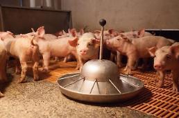 """.来自中国的非洲猪瘟(ASF)或引起全球性""""蛋白质动荡""""."""