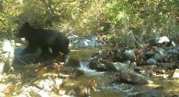 .[PHOTO NEWS] Endangered Asiatic black bear found to be living in demilitarized zone.
