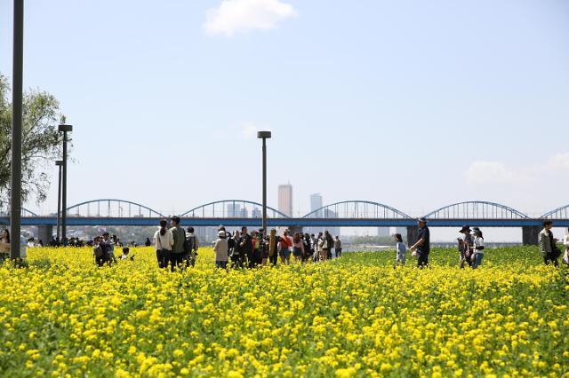 반포한강공원 서래섬 '유채꽃' 절정..설레는 봄 가족, 연인, 친구와 소풍 오듯 나들이 강추
