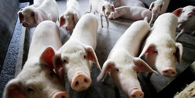 """""""美에 반격하나"""" 中, 미국산 돼지고기 수입 주문 취소"""
