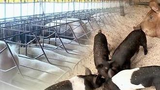 음식물 돼지사료 관리 강화…아프리카 돼지열병 차단 총력