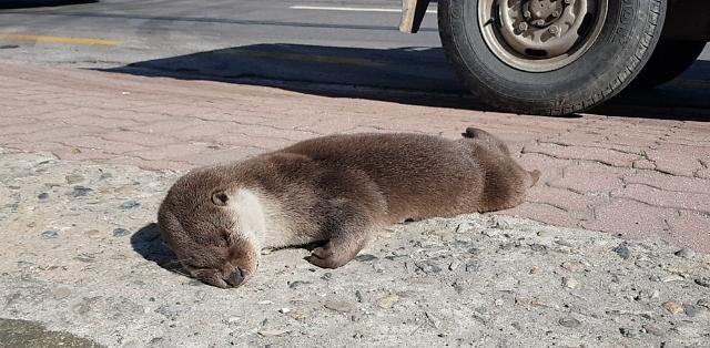[포토] 진주시내서 발견된 수달 사체