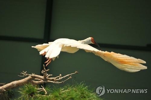 한반도 멸종 따오기, 40년 만에 우포 하늘로 힘찬 날개짓