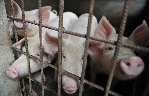 Ngăn dịch tả lợn châu Phi, Hàn Quốc siết quản lý thức ăn chăn nuôi