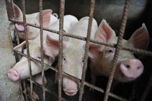 预防非洲猪瘟 禁止提供剩饭菜