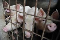 「アフリカ豚コレラを防ごう」・・・残飯給与の禁止急浮上