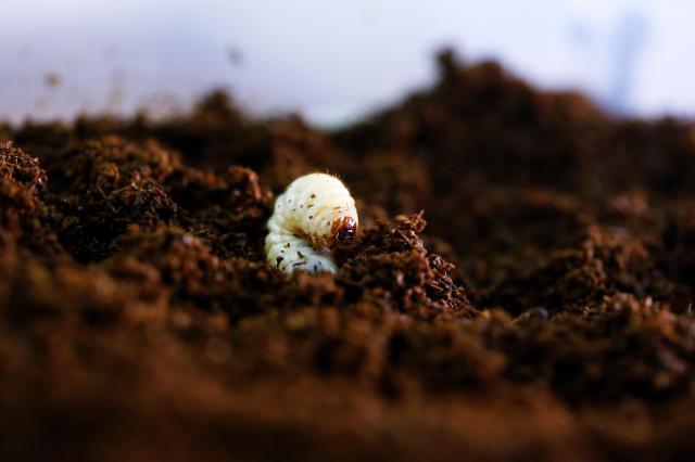 [미래의 농어촌]곤충산업 식용만? 음식물 쓰레기 분해하는 동애등에