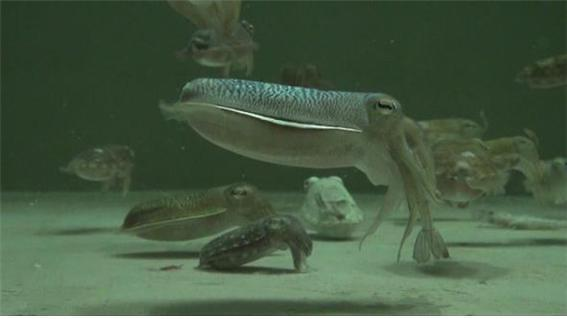 State research institute develops aquaculture technology for cuttlefish