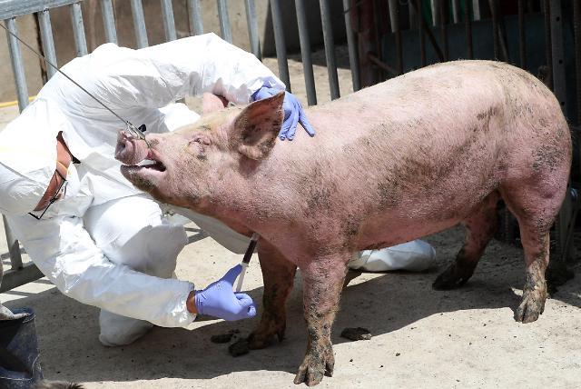 한반도 들어온 아프리카돼지열병…접경지역 10개 시군 특별관리