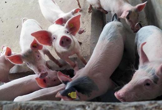 [세계는 지금] 아프리카돼지열병 공포에 빠진 지구촌 그리고 중국