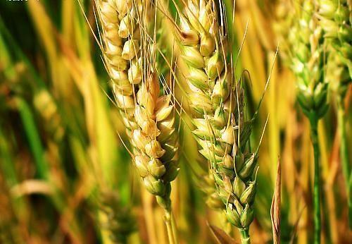 预测:今年朝鲜秋小麦和大麦产量较往年减少20%