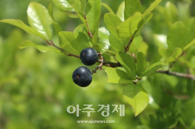 상동나무 추출물, 암세포 생장억제 효과 탁월
