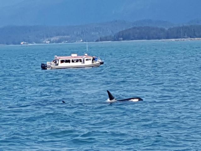 16m혹등고래와 6m범고래 혈투…알래스카 납량특집