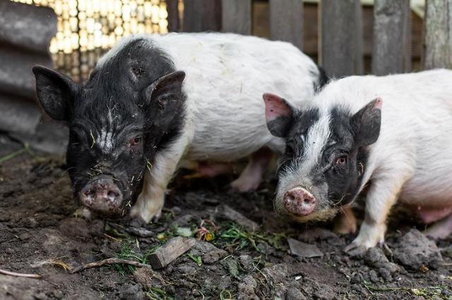 [NNA] 미얀마, 돼지 콜레라 감염 처음으로 확인... 샨 주