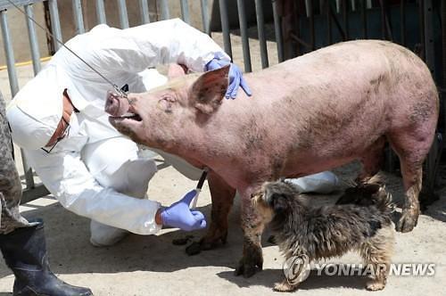 치사율 100% 아프리카돼지열병, 필리핀에도 발생...아시아 급속 확산