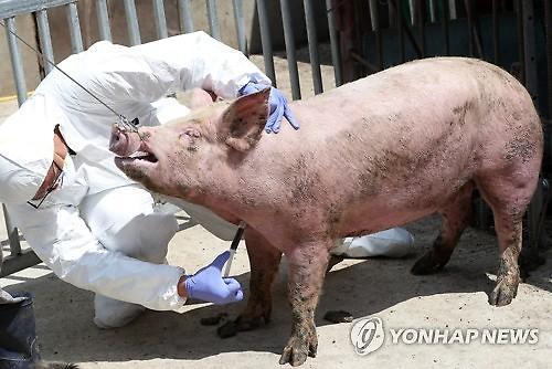 [포토] 아프리카돼지열병, 경기도 파주시 돼지농장서 국내 첫 발생