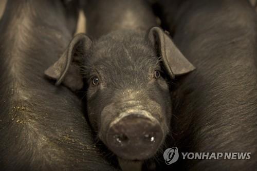 """아프리카 돼지열병 공포 덮친 세계...""""식량 안보 위협"""""""