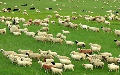 外媒:朝鲜有意在俄罗斯购买150只羊