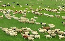 .外媒:朝鲜有意在俄罗斯购买150只羊.