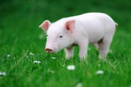 .【简单新闻Q&A】非洲猪瘟为何没有疫苗?.