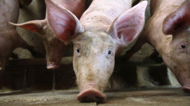 韩情报机构:猪瘟正向朝鲜全境扩散