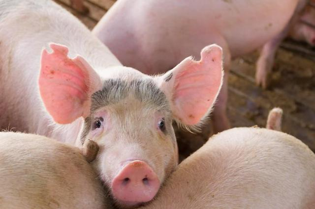 [오늘의 특징주] 아프리카돼지열병 우려에 이번주 증시도 출렁