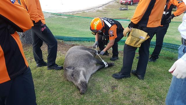 철원 DMZ 멧돼지서 이틀 연속 돼지열병 바이러스