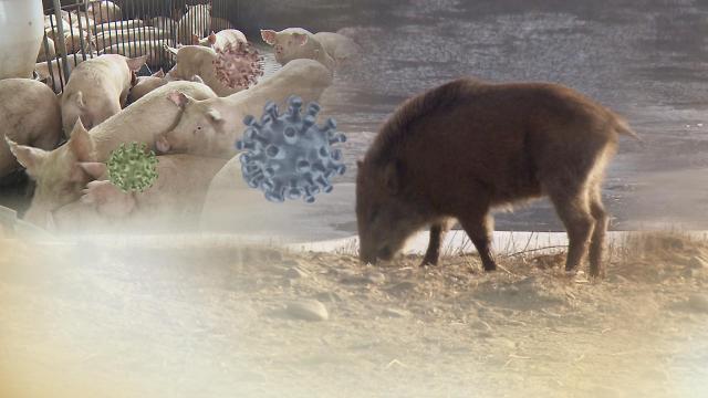 韩朝非军事区南侧再现两起野猪非洲猪瘟疫情