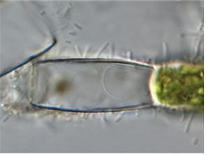 물속생물 미세조류, 육상에서 발견