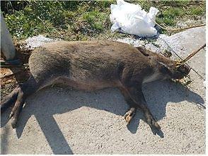 铁原民统线内发现第7只感染非洲猪瘟野猪尸体