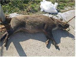.铁原民统线内发现第7只感染非洲猪瘟野猪尸体.