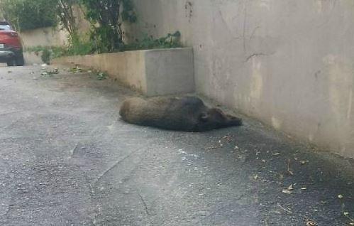 청주서 멧돼지 출몰… 전국 멧돼지 공포에 불안