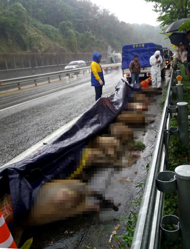 [포토] 차에 치여 죽은 멧돼지들