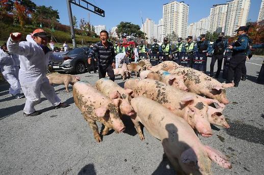 [포토] 돼지 몰며 항의하는 잔반농가들