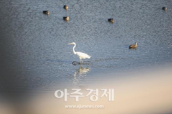 의왕시  겨울철새 대백로 왕송호수에서 관찰