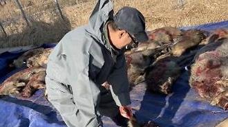 강원 화천 멧돼지 폐사체서 돼지열병 6건 추가 확진…총 124건