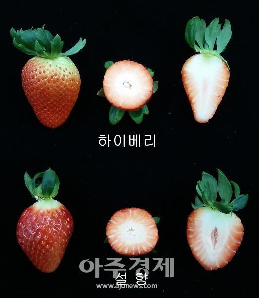 충남도, 딸기 신품종 '하이베리' 매력 선보여