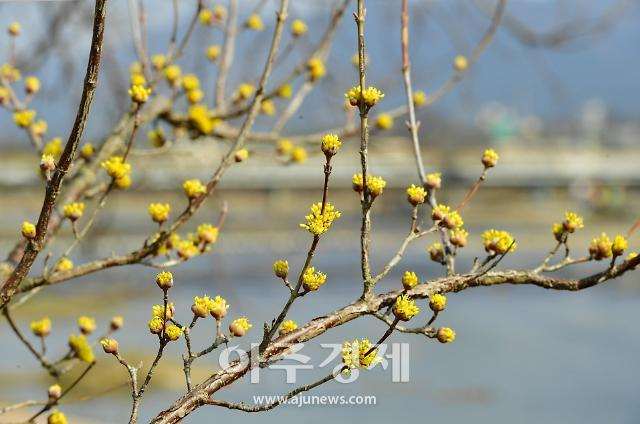 [아주경제 화보] 장성 황룡강변에 수줍은 듯 핀 산수유꽃