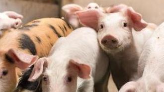 中, 코로나19·돼지열병 여파에 일주일새 돼지고기 4만톤 방출