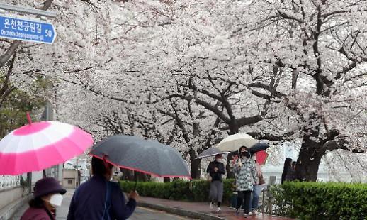 [포토] 비 내리는 온천천 벚꽃길