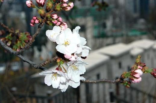 首尔今日进入樱花初花期
