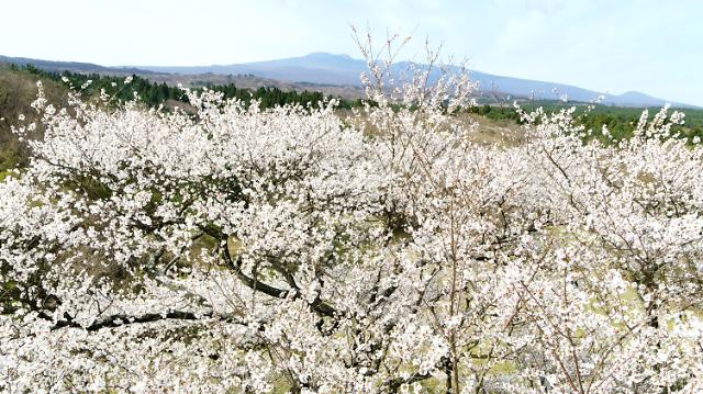 [포토] 꽃 활짝 피운 천연기념물 제주 왕벚나무
