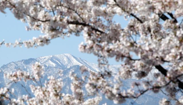 """山上积雪山下开花 雪岳山""""冬春并存"""""""