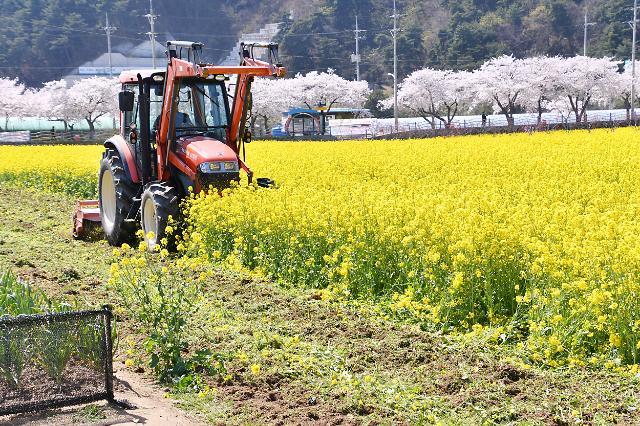 [포토] 트랙터로 갈아엎는 삼척 유채꽃밭