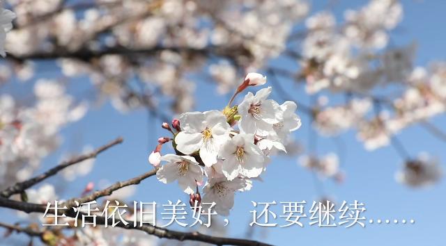 [AJU VIDEO] 疫情 周末 樱花