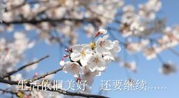 .[AJU VIDEO] 疫情 周末 樱花.