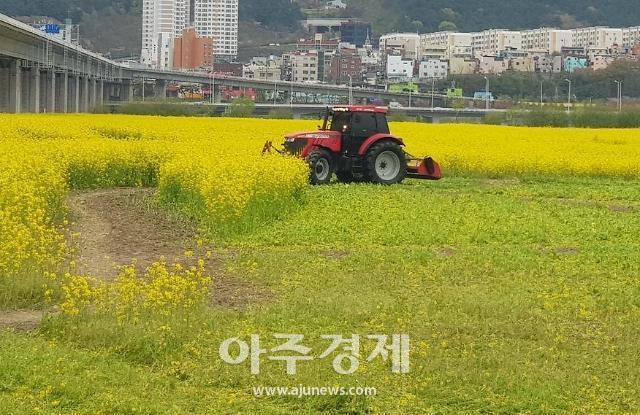 유채꽃을 제거하라! 부산 낙동강변 축구장 80배 면적 갈아엎기