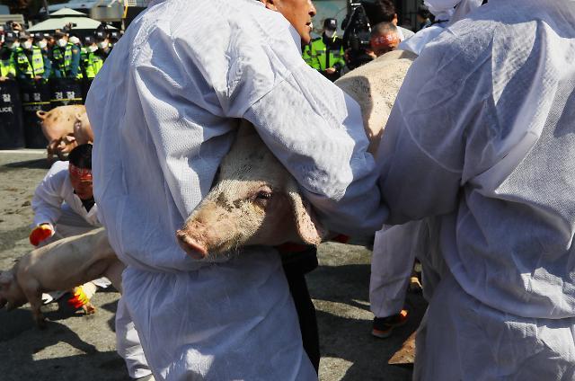 아프리카돼지열병으로 폐업 농가, 정부 지원금 받는다