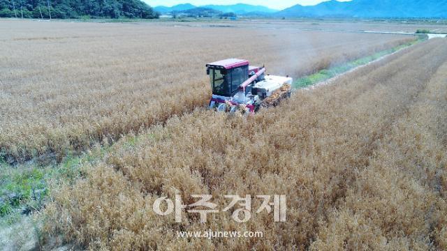 전남 강진 쌀귀리 풍년 본격 수확